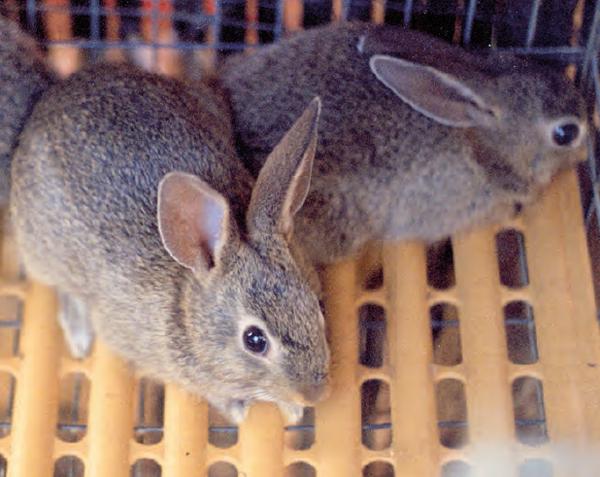 Granjas Comerciales De Producción De Conejos De Monte Cuninews La Revista Global De Cunicultura