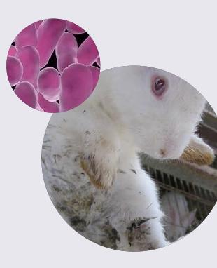 caso clínico en conejos de granja