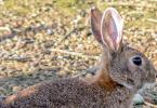 Repoblación de conejos de montes