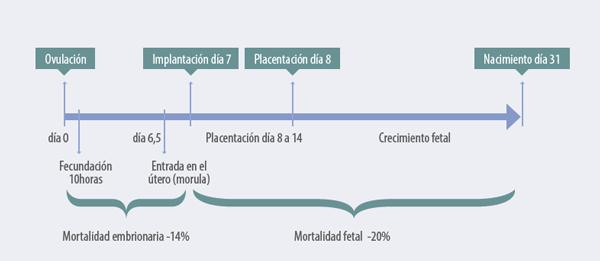 En la ovulación de la coneja aparecen distintas etapas