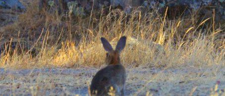 conejos en doñana