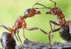 Hormigas producir antibióticos