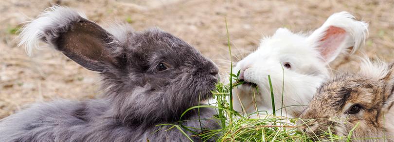 conejos de angora