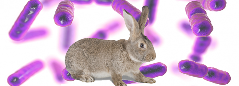 bacteroides conejos