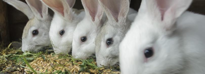reproducción de las conejas