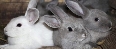 conejos en Cataluña